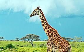 Masai Mara 111